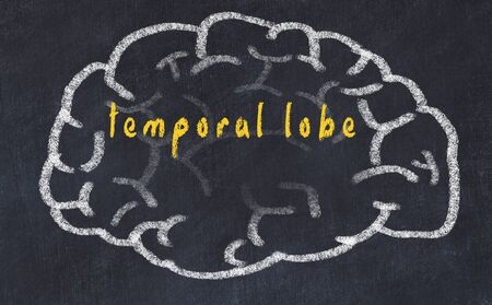 Drawind of human brain on chalkboard with inscription temporal lobe.