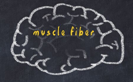 Drawind of human brain on chalkboard with inscription muscle fiber. Stock Photo