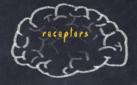 Drawing of human brain on chalkboard with inscription receptors. Banco de Imagens