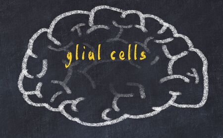 Drawing of human brain on chalkboard with inscription glial cells.