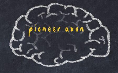 Drawing of human brain on chalkboard with inscription pioneer axon.