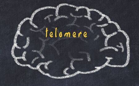 Drawing of human brain on chalkboard with inscription telomere.