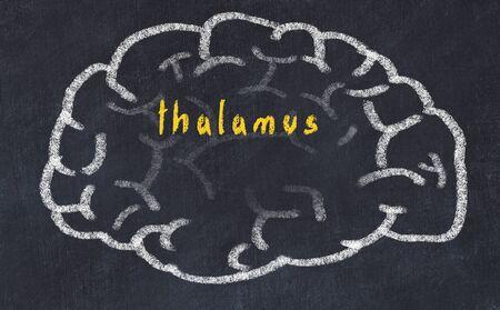Drawing of human brain on chalkboard with inscription thalamus.
