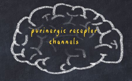 Drawing of human brain on chalkboard with inscription purinergic receptor channels. 版權商用圖片 - 128921266