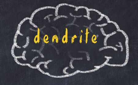Drawing of human brain on chalkboard with inscription dendrite.
