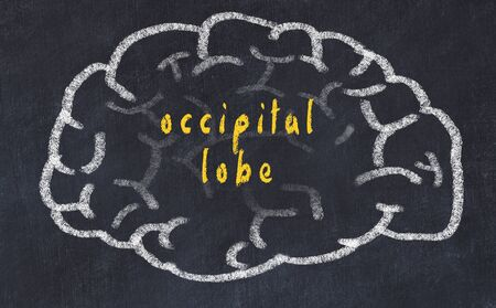 Drawing of human brain on chalkboard with inscription occipital lobe.