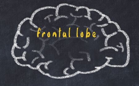 Drawing of human brain on chalkboard with inscription frontal lobe. Stock Photo