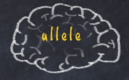 Drawing of human brain on chalkboard with inscription allele.