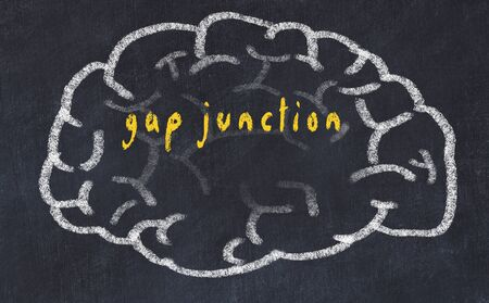 Drawing of human brain on chalkboard with inscription gap junction. Stock Photo