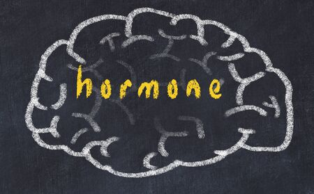 Drawing of human brain on chalkboard with inscription hormone.