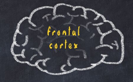 Drawing of human brain on chalkboard with inscription frontal cortex.