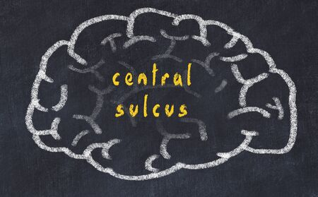 Drawing of human brain on chalkboard with inscription central sulcus.
