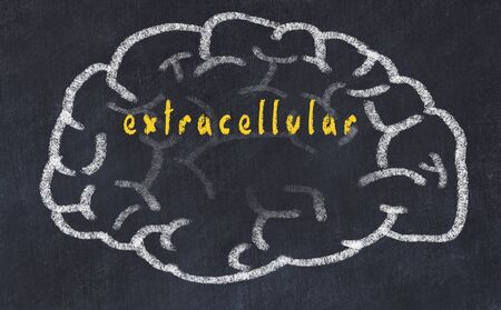 Drawing of human brain on chalkboard with inscription extracellular.