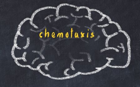 Drawing of human brain on chalkboard with inscription chemotaxis.