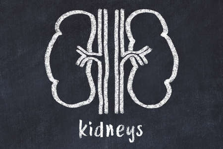 Chalk drawing of human kidneys and medical term kidneys. Concept of learning medicine. Stockfoto