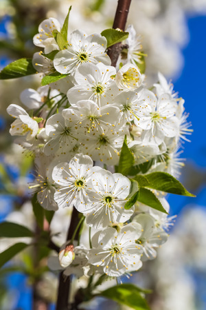 vernal: Branch with white inflorescence cherry blossoms on blue sky background. Stock Photo