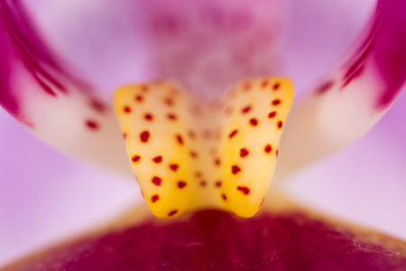 pith: Yellow pith orchid close-up