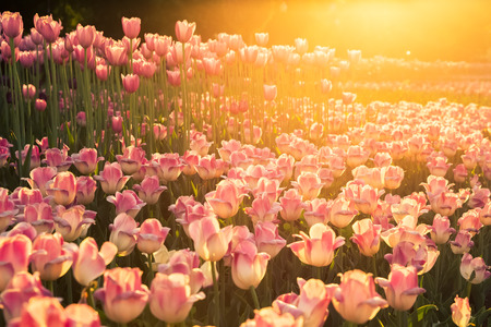 The flowerbed with pink tulips in the sunlight on sunset photo