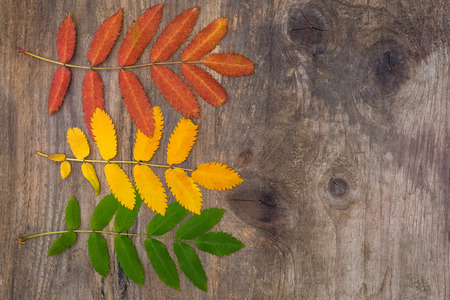 Red, yellow and green leaves of rowan lying horizontally on a rough wooden board with knots photo