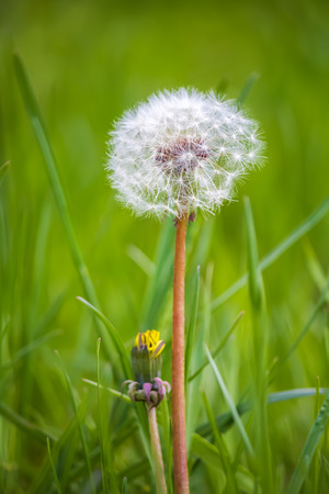 Fluffy dandelion with a long stem on a background of green grass photo