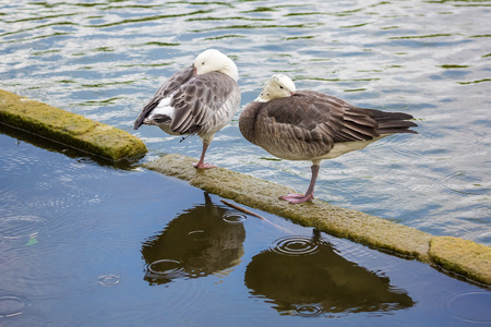 membranes: Two geese stand on one leg and hiding their heads under their wings.