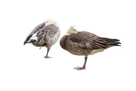 membranes: Two geese stand on one leg and hiding their heads under their wings on a white background. Stock Photo
