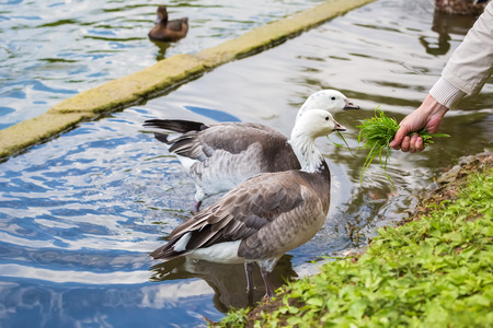 membranes: A pair of geese eating grass from the hands of a man on the shore of the pond. Stock Photo