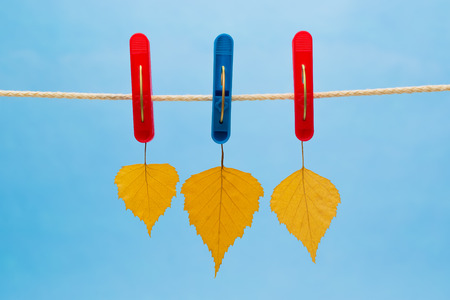 birch leaf: Three yellow birch leaf suspended from a clothesline using clothespins on a blue background. Stock Photo