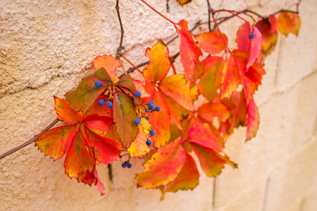 uvas: The leaves and berries parthenocissus in the fall, on the stone wall. Foto de archivo