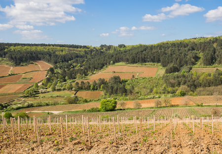 hillsides: Vineyards on the wooded hillsides in Burgundy, France Stock Photo