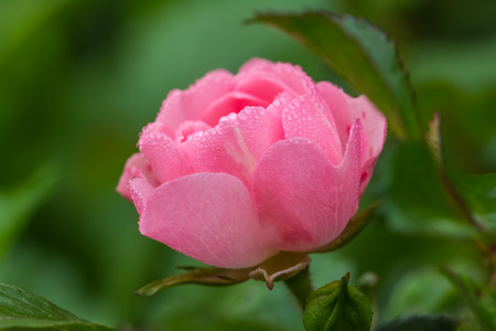 Pink rose in drops of dew in the early morning
