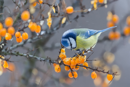 peck: Blue tit sitting on the branch of sea-buckthorn in winter day and peck berries Stock Photo