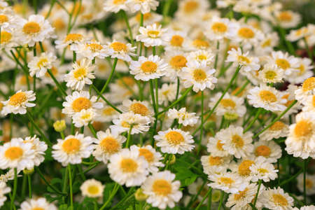 Beautiful natural scene with blooming medical chamomile on flowerbed in garden lit by the setting sun. Summer flowers. Summer background