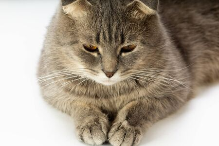 Obedient calm scottish fold pedigreed cat lies clasped paws on a light background