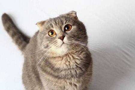 Piękny kot modnej rasy Scottish Fold na białym łóżku