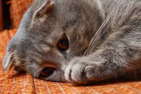 Beautiful scottish fold cat of gray color, fashionable breed. Pensive face Imagens