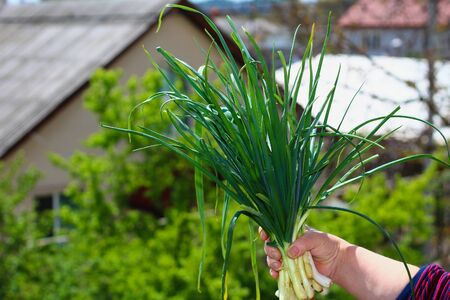 A beautiful large green bunch of fresh onions in a farmer's hand. Proper nutrition, healthy eating, wholesome food. Cold and Infectious Disease Prevention. Lifestyle