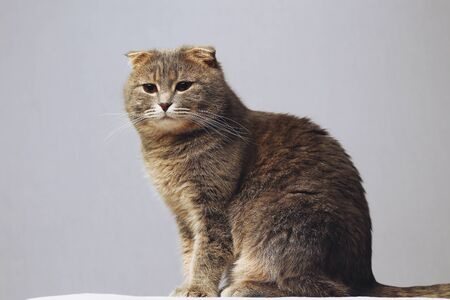 Beautiful and smart cat of the Scottish fold breed on a gray background, toned