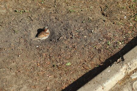 Sparrow bathes in the dust is a omen that means it will rain soon Stock Photo