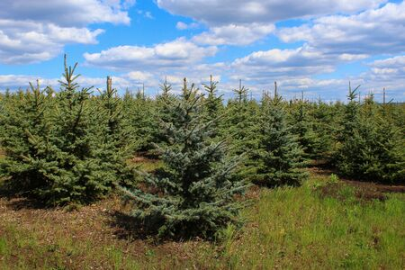 Spruce nursery with young conifers that will decorate the New Year or Christmas Stock Photo