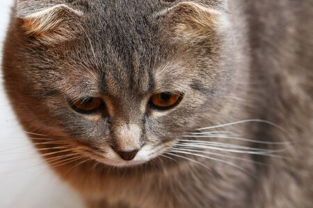 Beautiful plump Scottish fold cat closeup portrait