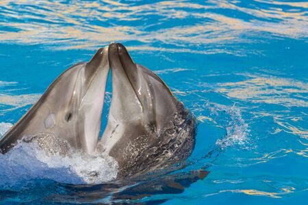 A loving pair of dolphins embrace and kiss with eyes closed from happiness.A beautiful relationship background with copy space, place for text.