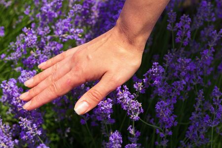A field of lavender grown for aromatic oil in Europe. Beautiful background. Female hand touches the flowers Foto de archivo - 149436662