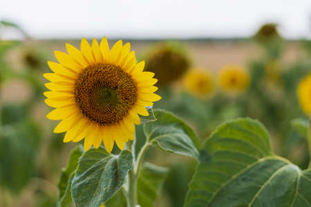 Sunflower in summer. Selective focus. Blurred background