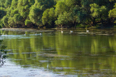 Swans on the river in their natural habitat. Background