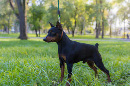 Pinscher dog. Selective focus with blurred background. Shallow depth of field. Archivio Fotografico