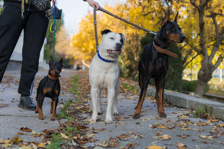 Dogs on a leash. Selective focus with blurred background. Shallow depth of field.