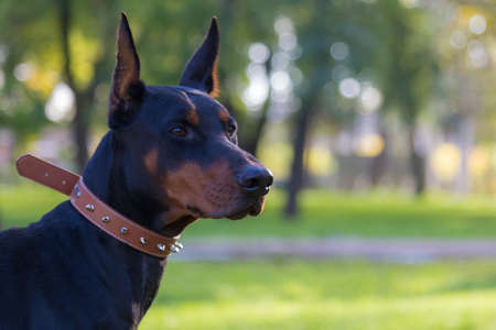 Doberman dog. Selective focus with blurred background. Shallow depth of field. Archivio Fotografico