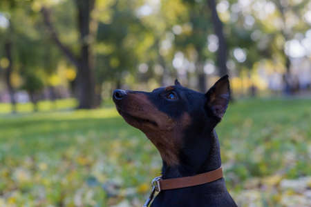 Pinscher dog. Selective focus with blurred background. Shallow depth of field.