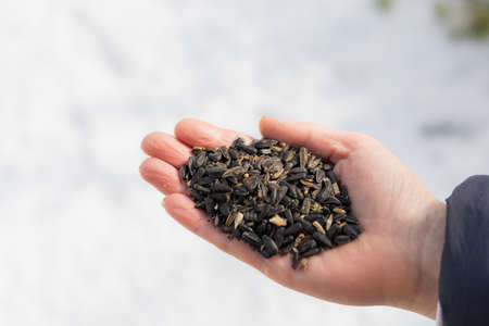 Hand with sunflower seeds. Traditional winter feeding of birds to help them get through the rough season. Place for text Banque d'images